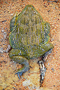 The African Bullfrog is the largest amphibian found in southern Africa.  This individual sustained severe injuries to one of it's legs from another more dominant male African Bullfrog.