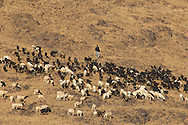 Berber shepherd with flock of sheep and goats in Draa valley
