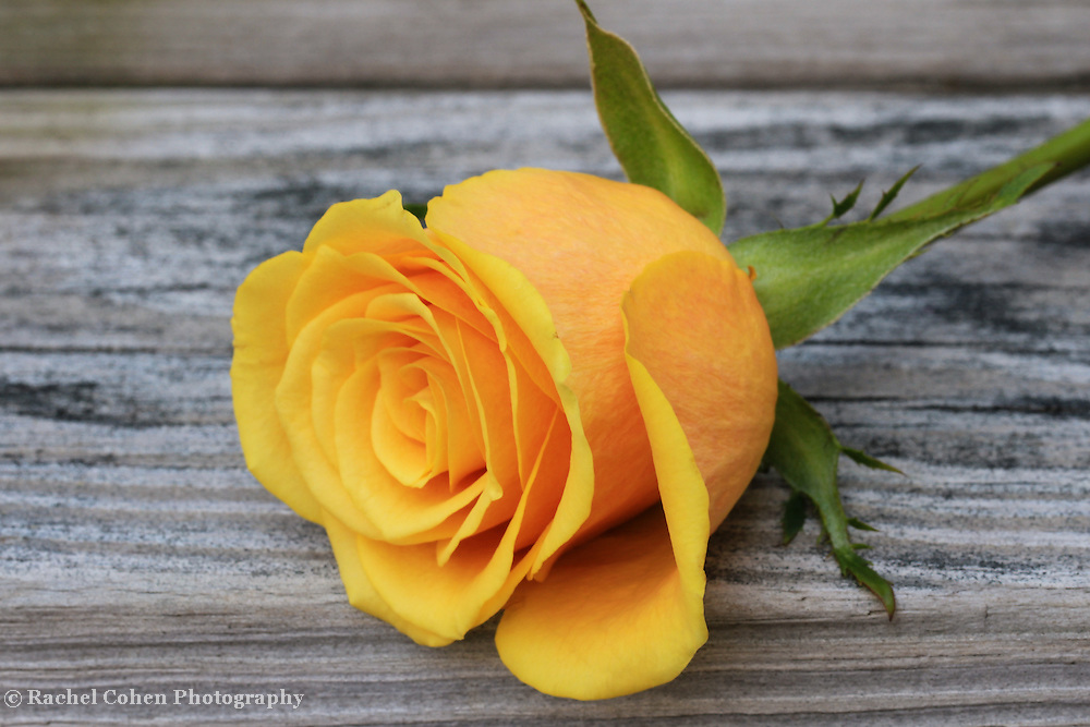 &quot;Yellow Rose of Texas&quot;<br />
