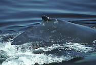 Humpback Whale Megaptera novaeangliae Length 12-15m Large cetacean that is often active at surface; breaches and engages in flipper- and tail-slapping on water surface. Feeds on shoaling fish and krill. Adult has streamlined, bulky body; broad head covered in lumpy tubercles. Pectoral fins are long and mainly white; dorsal fin is short and stubby. Tail is typically dark above and white with black markings below. Before deep dive, arches back strongly and tail stock and fluke come clear of water before deep dive.