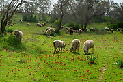 A herd of sheep grazes in a green field pasture Photographed in Golan Heights, Israel in February