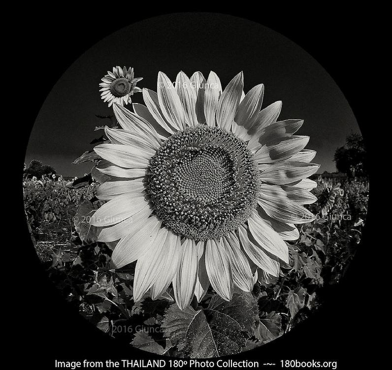 Sunflowers ~ Lopburi, Thailand