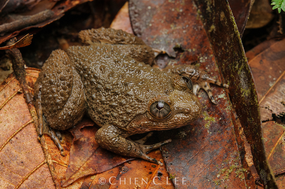 Fanged frog (Limnonectes cf. asperatus). Danum Valley, Sabah, Malaysia.