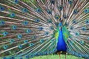 Proud Peacock