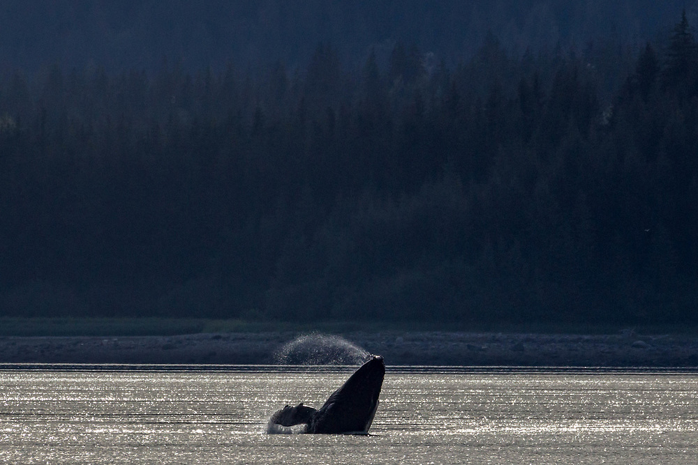 Humpback breaching in Sitakaday Narrows, Glacier Bay.