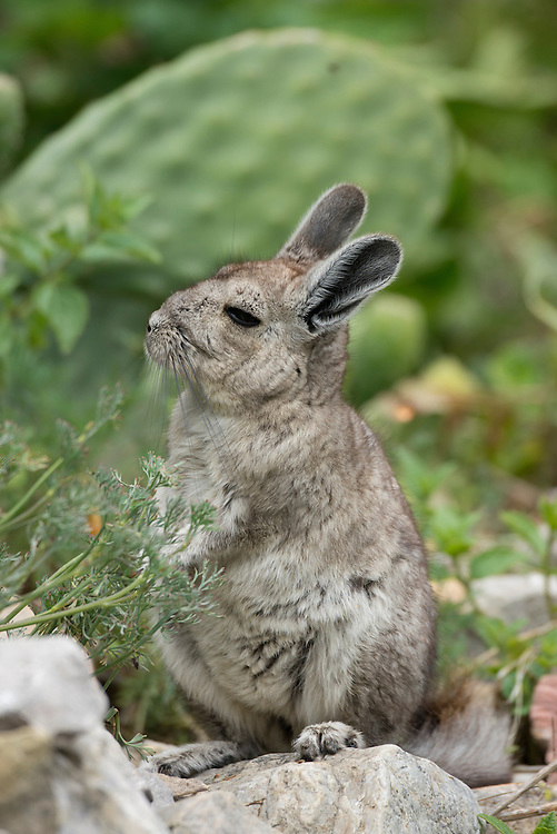 South America,Peru, Suasi island,  Lake Tititaca, northern viscacha (Lagidium peruanum