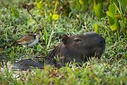 Capybara (Hydrochoerus hydrochaeris) &amp; Wattled Jacana (Jacana jacana) juv.<br /> Northern Pantanal<br /> Mato Grosso<br /> Brazil