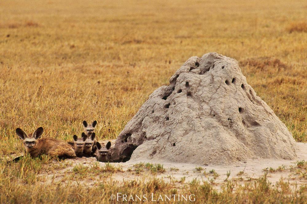 Bat-eared foxes at termite mound, Otocyon megalotis, Chobe National Park, Botswana