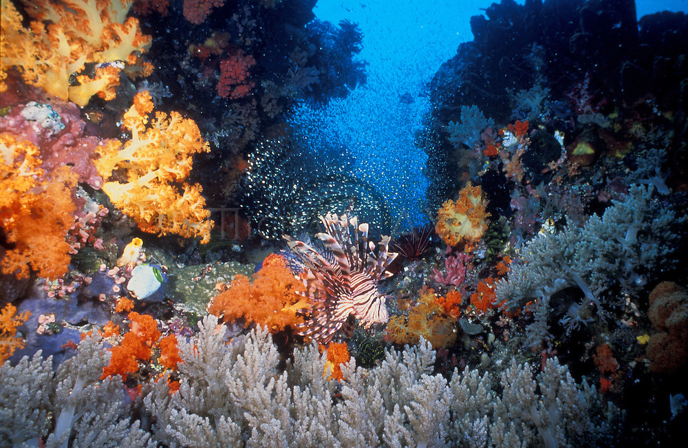 soft corals seascapes. Lionfish with soft corals, 15mm, Indo Pacific, Queensland.Pterois volitans