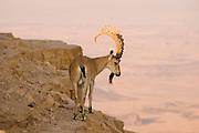 Israel, Mitzpe Ramon, Large male Nubian Ibex (Capra ibex nubiana) standing on a cliff