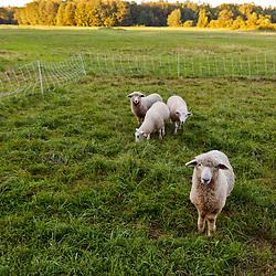 Lambs at the Crimson and Clover Farm, Northampton, Massachusetts.