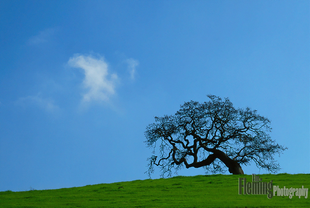Stately oak tree and a single cloud