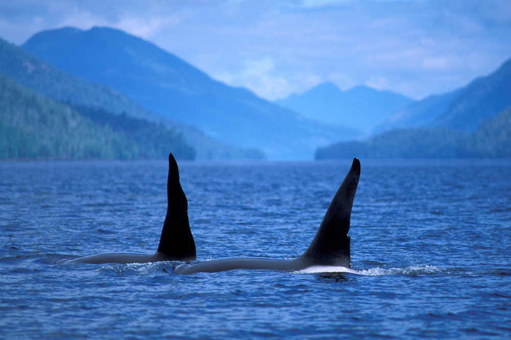 Killer Whale, Orca, Gwaii Haanas National Park Reserve, Queen Charlotte Islands, British Columbia, Canada