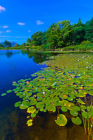 Water lillies, Long Pond, Acadia National Park, Mount Desert Island, Maine, USA