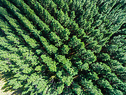 Aerial photograph looking straight down at pine trees in State Forest tree farms, Sunshine Coast, Queensland, Australia