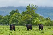 Highland Cattle in peaceful landscape in the Scottish Highlands