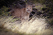 Juvenile female cougar (Felis Concolor) portrait. Range: North America - Canada south to South America.
