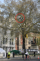 © Licensed to London News Pictures. 18/04/2019. London, UK. An Extinction Rebellion campaigner (circled red) hangs from a hammock, high up in a tree, outside the Supreme Court on Parliament Square in London on a fourth day of protests by the group. Protesters are demanding urgent government action on climate change. Photo credit: Ben Cawthra/LNP