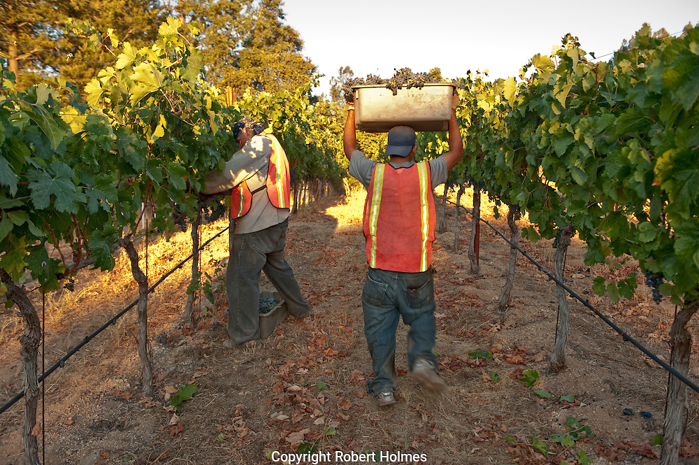 Merlot harvest at Candlestick vineyard, Angwin, Napa Valley