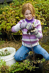 United States, Washington, Issaquah, girl planing tree  at Social Venture Partners community service project with Mountains to Sound Greenway Trust.   MR