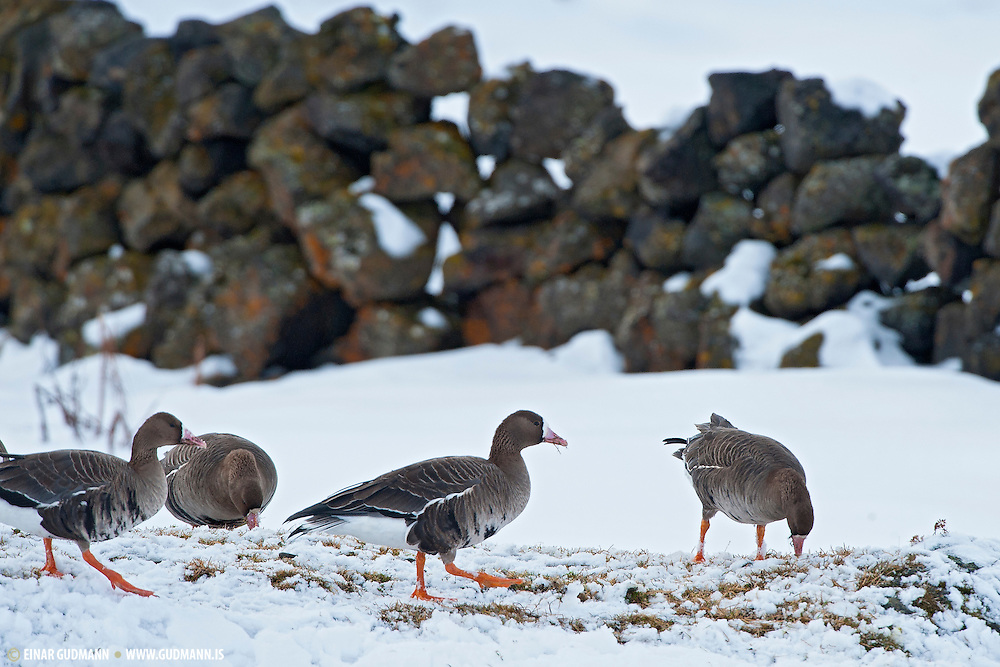 Eastern White-fronted goose at Myvatn, Iceland.