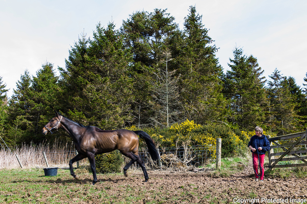 Bonchester Bridge, Hawick, Scottish Borders, UK. 8th April 2015. Racehorse Oscar Stanley trots off for a break outside in warm spring sunshine.