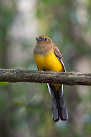 The orange-breasted trogon (Harpactes oreskios) is a species of bird in the family Trogonidae.