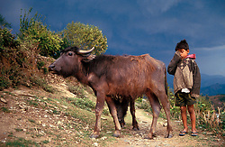 NEPAL POKHARA APR995 - A Nepalese boy brings home his family's bullocks before a hailstorm.<br />
