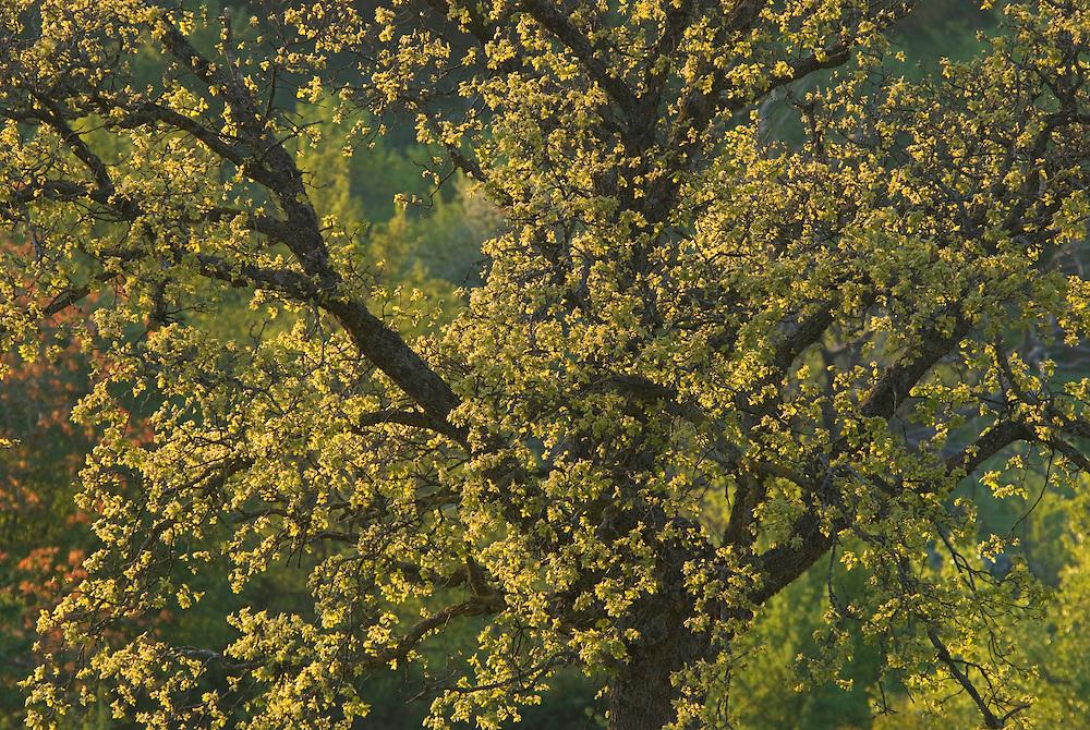 Apulia; cultivated landscape; Downy Oak; Gargano National Park; Gargano Peninsula; Italy; Monte Sacro; Quercus pubescens
