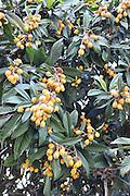 Israel, loquat tree (Eriobotrya japonica) with fruit, spring April 2010