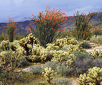 I used my 4x5 view camera to bring out the detail in my photograph of blooming ocotillo and cholla cacti in Anza Borrego Desert State Park.  The bright red ocotillo flowers stand in stark contrast to the cactus in the harsh desert landscape.