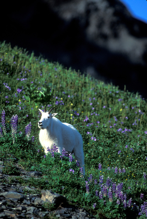 USA, Alaska, Kenai Fjords National Park, Mountain Goat (Oreamnos americanus) in field of arctic lupine above Exit Glacier