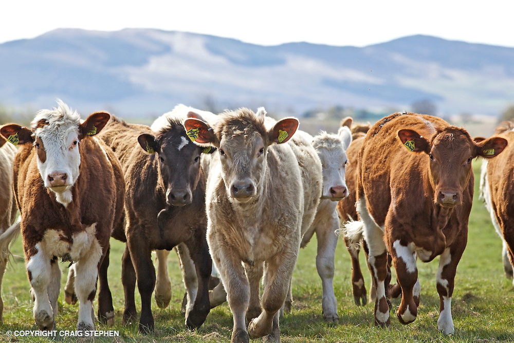 Small group of commercial / beef cattle in field in Perthshire, Scotland
