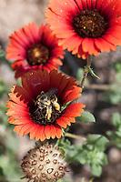 Red Gaillardia, Gallardia amblyodon,.Austin County, TX