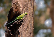 Ring-necked parakeet (Psittacula krameri, male) from Kaziranga NP, Assam, India.