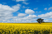 Sun breaks over canola crop in field with tree blue sky with spotted cloud near Cowra, New South Wales, Australia.