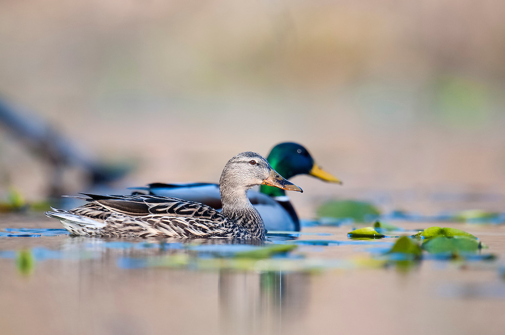 Mallards, Anas platyrhynchos, female and male, Lapeer County, Michigan
