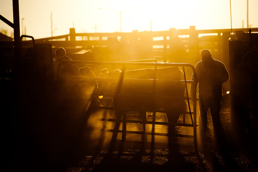 Morning in the stockyards at sunrise.
