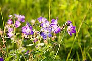 Blumenwiese, Naturschutzgebiet auf dem Hoherodskopf, Vogelsberg, Hessen, Deutschland | Hoherodskopf, Vogelsberg, Hesse, Germany