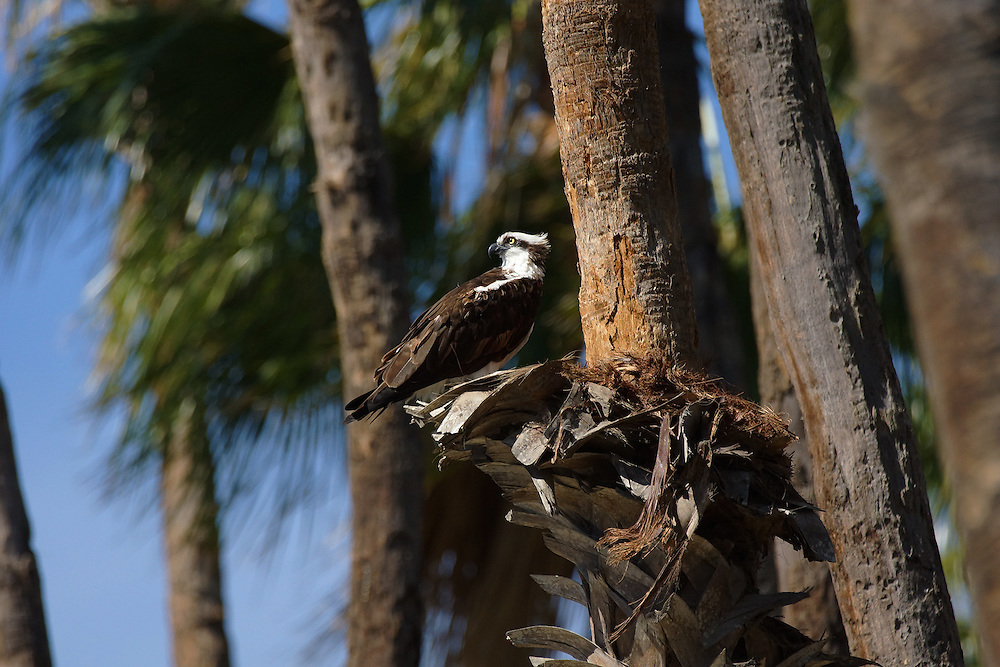 The osprey is a large raptor who is a fish eating bird of prey.  They typically nest near a body of water with an adequate food supply.  They are found on all continents except Antarctica.