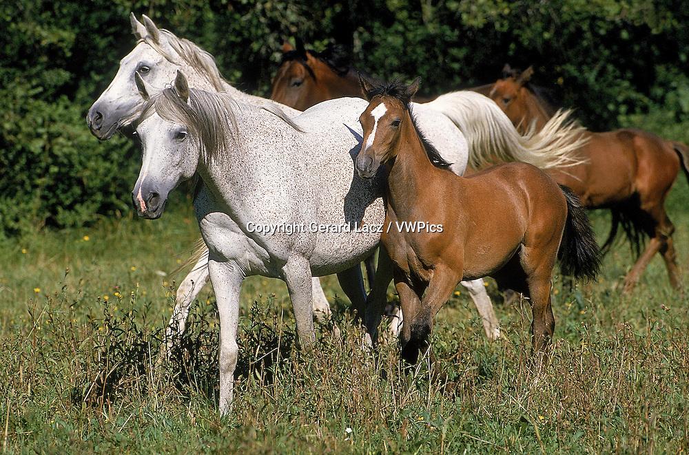ARABIAN HORSE, HERD STANDING IN PASTURE