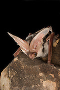A spotted bat (Euderma maculatum) roosting at night near The Grand Canyon. Kaibab National Forest, Arizona.