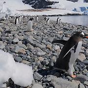 Gentoo penguin. Cuverville Island, Antarctica.