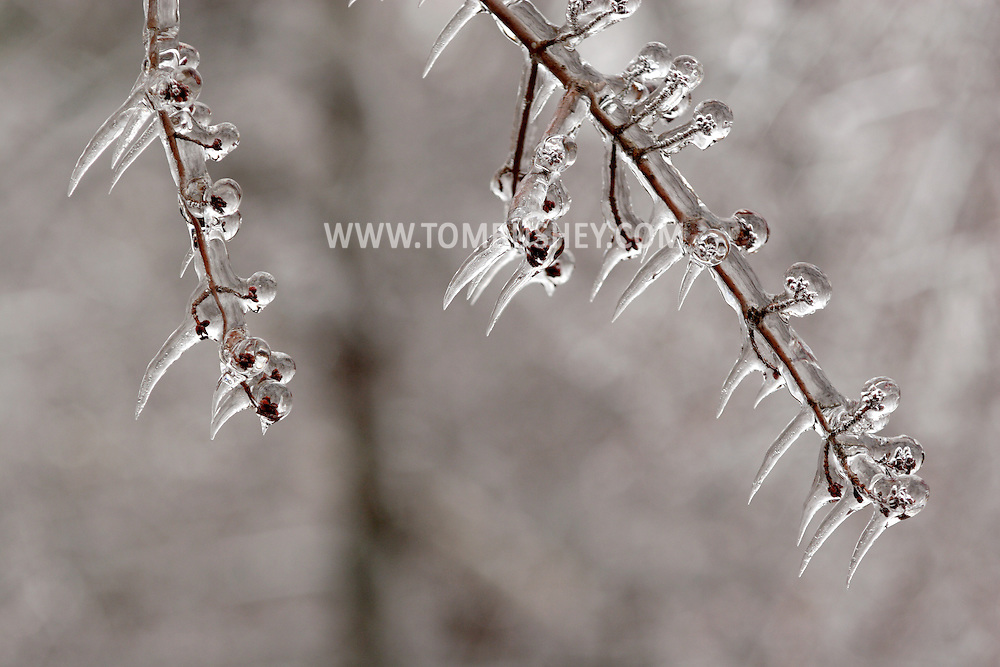 Greenville, NY - Branches of a tree are coated in ice after an ice storm on Dec. 14, 2008.