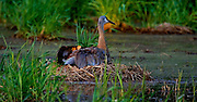 Two Sandhill Cranes chicks take cover under their mother's wing as night fall.  Cranes nest in wetlands to have warning from predators.  Photo by Tom Lynn