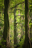 A view into the spanish moss laden world of Merchant Mill Pond State Park