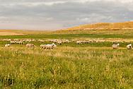 Sheep, flock, South of Lewistown, Montana