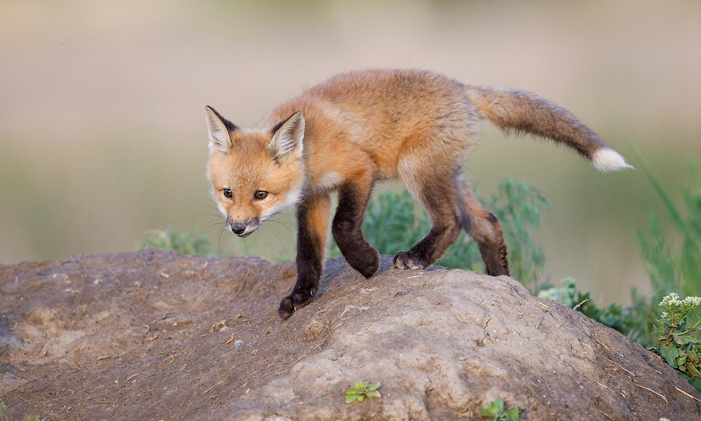 Red Fox<br />