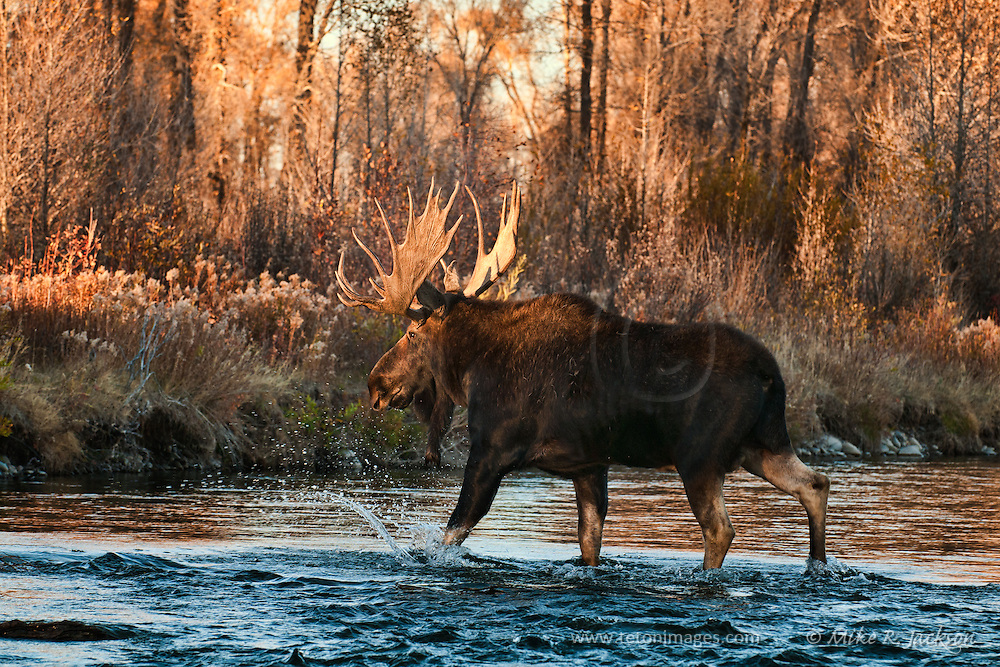 Large bull moose crossing the river during the last few seconds of light in Grand Teton National Park. Artistic effects applied