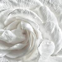 Close up of a Gardenia.